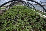 Tomatoes in Eeyoar