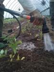 watering tomatoes